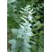 Huile essentielles d'Eucalyptus